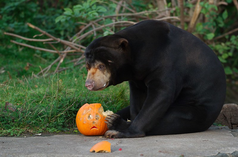 Sun bear and pumpkin by Magnus Hagdorn