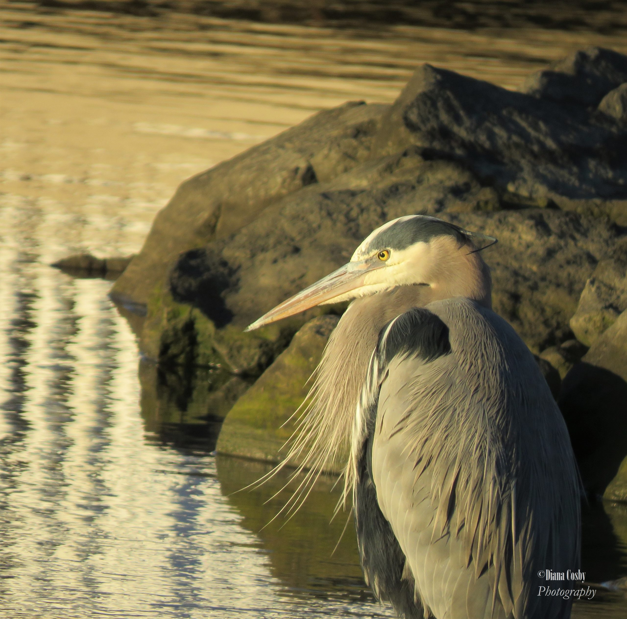 1 - 1 - 0000 Inspired By Nature 4 Great Blue Heron