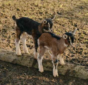 Why Are There Goats in the Amish Matchmaker Series?
