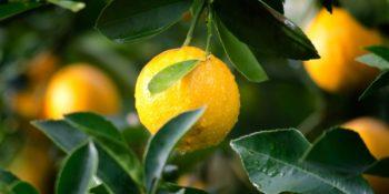 Six Uses for Lemon